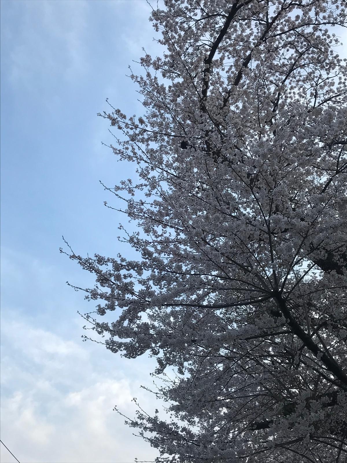 自撮りと徒歩10分の桜並木♪